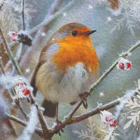 Robin in berry bush - 10 cards
