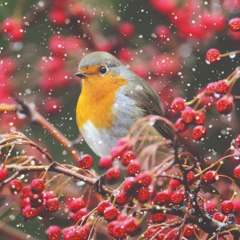 Winter berry robin - 10 cards